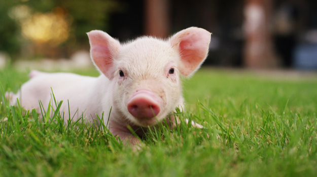 Piglet sitting on the lawn