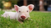 Yale Scientists Restore Brain Activity in Dead Pigs Hours After Death