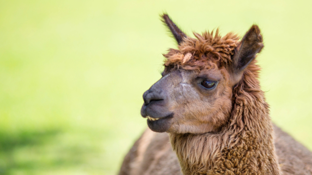 A Llama Antibody Could Be the Key to a Universal Flu Vaccine